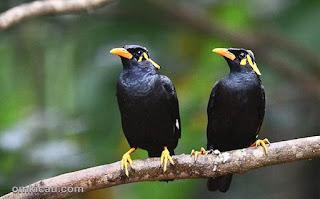 Burung Kicau Beo :Ciri-Ciri Dan Cara Mudah Membedakan Burung Beo Jantan Dan Betina - Burung Kicau