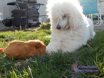Guinea Pig and poodle together