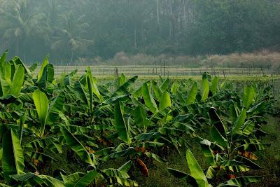 Banana Plantation in Kerala