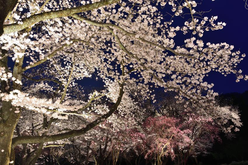 樹木公園のライトアップされた夜桜