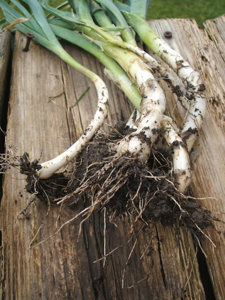 muddy homegrown leeks pulled fresh from the ground