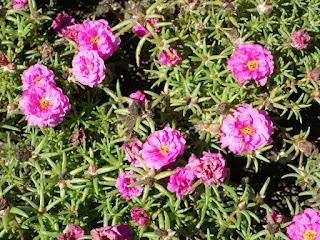 Pourpier à grandes fleurs - Portulaca grandiflora - Chevalier-d'onze-heures