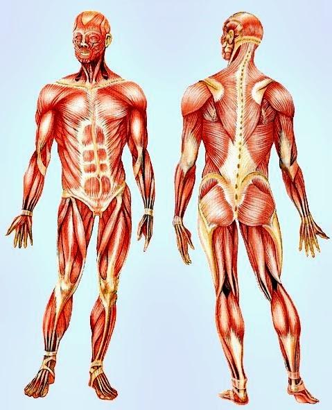 Tipos de fibras musculares y su relación con el rendimiento deportivo