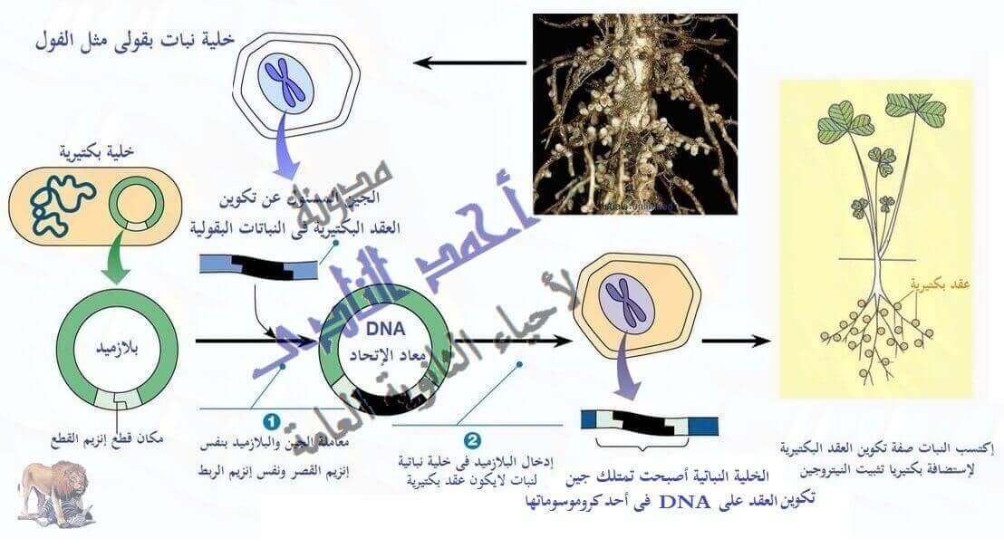 أحياء الثانوية  العامة - تقنيات التكنولوجيا الجزيئية ( الهندسة الوراثية ) - تقنية DNA  معاد الإتحاد  - الزراعة – بكتريا العقد البكتيرية
