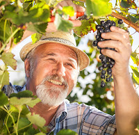 Farmer picking grapes