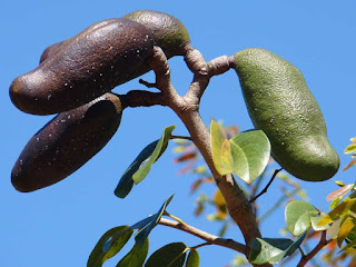 jatoba fruit images