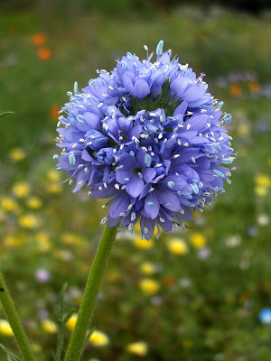 Gilia capitata: photo by Cliff Hutson