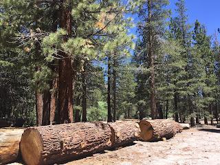 Huge fallen logs