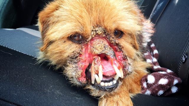 Comienza la recuperación de Brandy, el perrito sin media cara