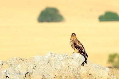 Los encinares de la Cuenca Alta del Manzanares es el lugar perfecto para el águila imperial ibérica (Aquila adalberti).