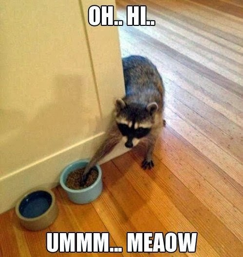 Funny Raccoon Cat Meaow Meme Joke Picture