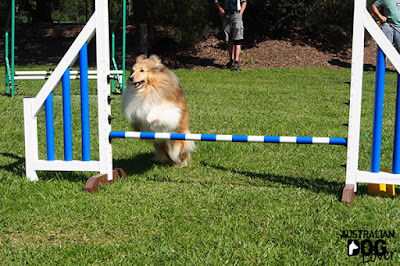 Sheltie jumps over obstacle bar during agility demonstration