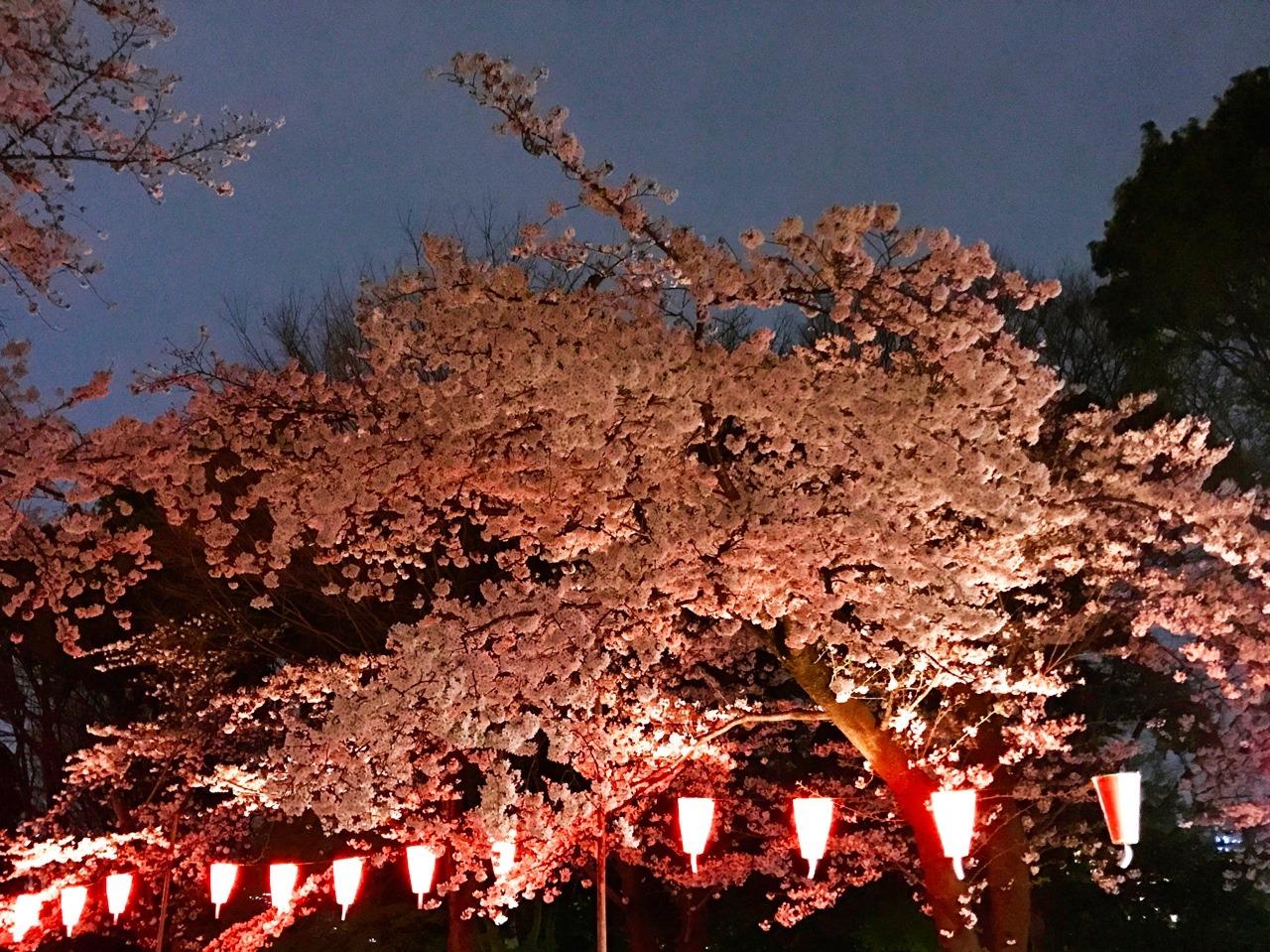 Sakura Malam (yozakura)