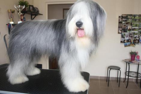 Kutyafodraszat.Hu  Bitang a szakállas collie fürdés előtt és fürdés után fee1451265