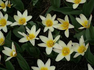 Tulipa kaufmanniana 'Hearts Delight' - Tulipe Hearts Delight