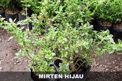 Tukang taman surabaya tanaman hias mirten