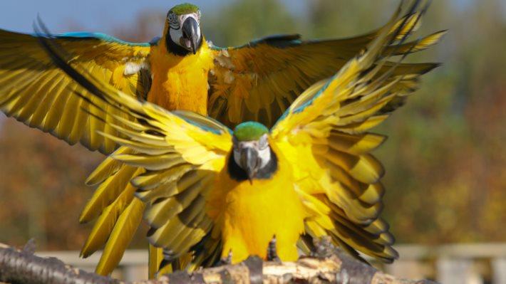 Wallpaper: Yellow Ara Parrots