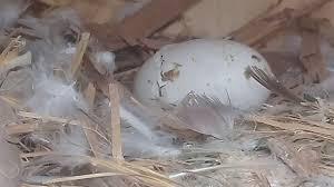 Mengetahui Bagaimana Ciri-Ciri Telur Burung Merpati Yang Akan Menetas