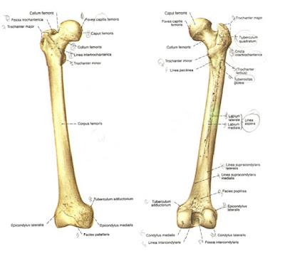 bentuk tulang paha manusia