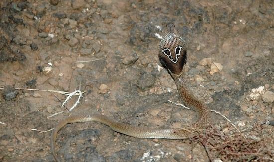 Ular Kobra Hewan Paling Berbahaya Di Dunia