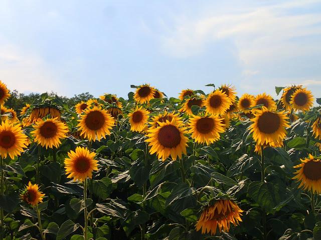 Kolejne kilometry mijają wśród słoneczników