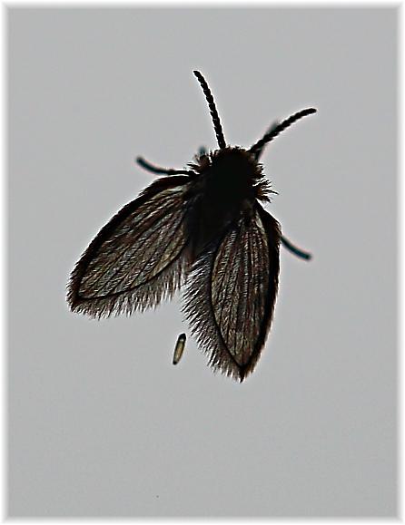 foto natura huesca 2 mosca del drenaje psychoda pierre. Black Bedroom Furniture Sets. Home Design Ideas