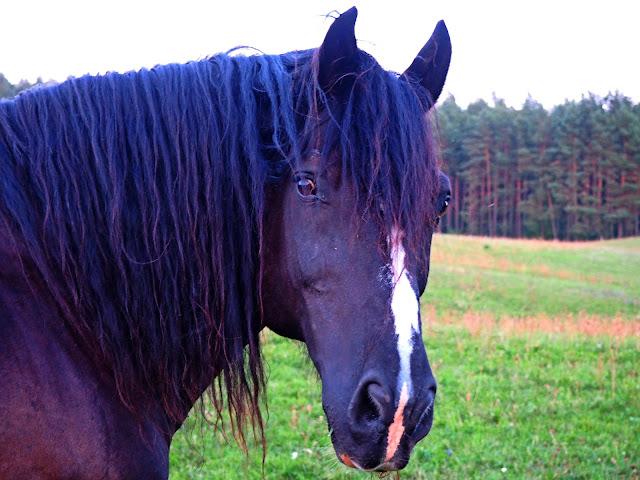 Warmia konie