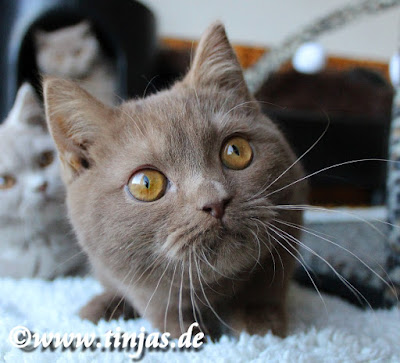 Britisch Kurzhaar Katzenbaby cinnamon