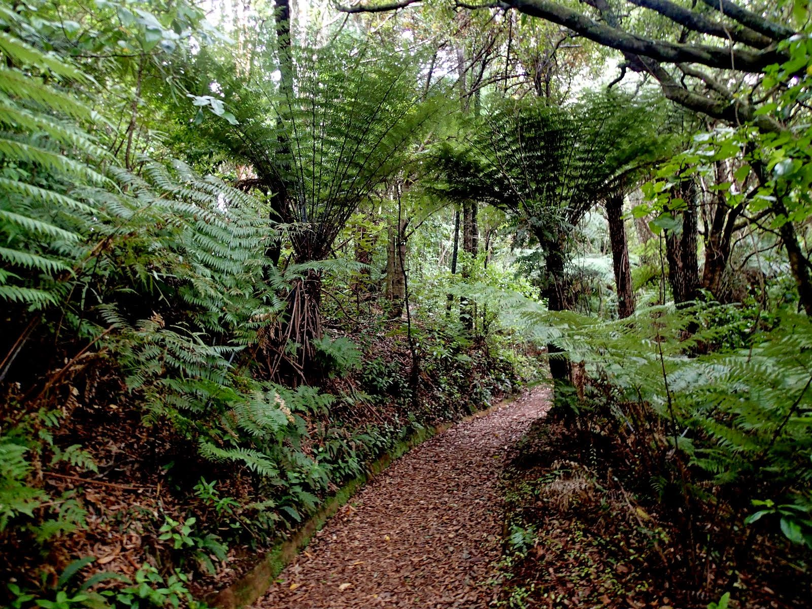 Fern walk in Otari bush