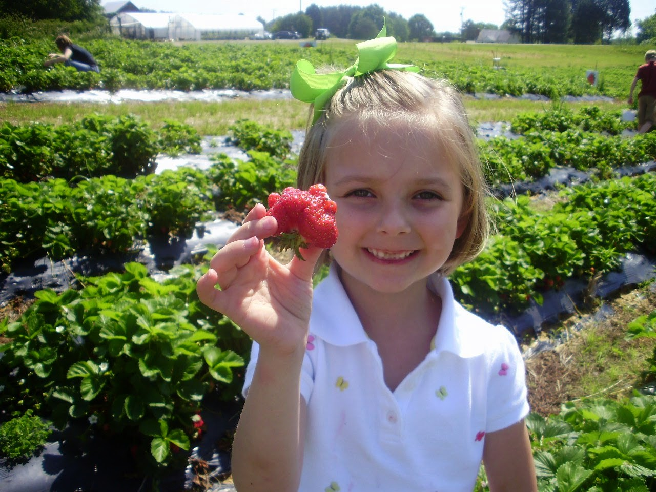 Pick Your Own Strawberries In Southern Virginia