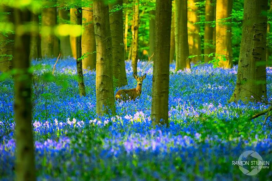 Platycodon grandiflorum flowers forest in Belgium