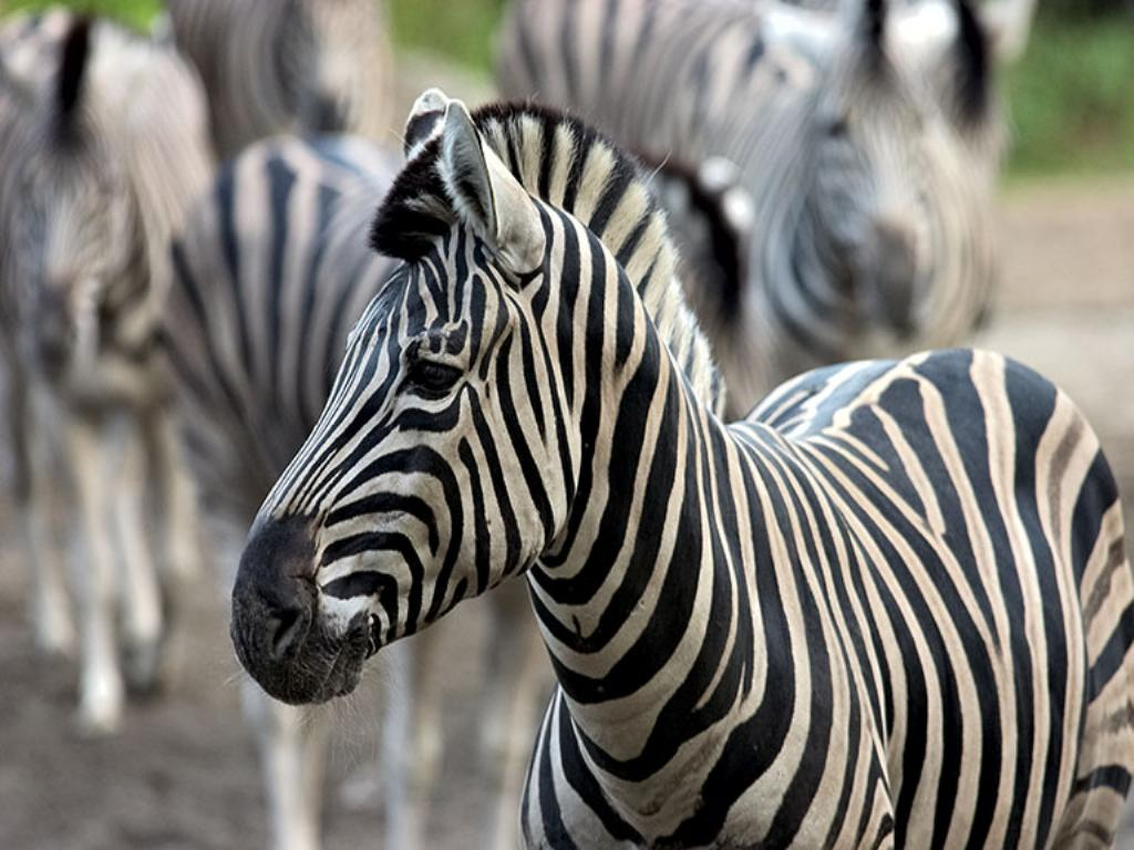 Cool zebra pictures |Funny Animal