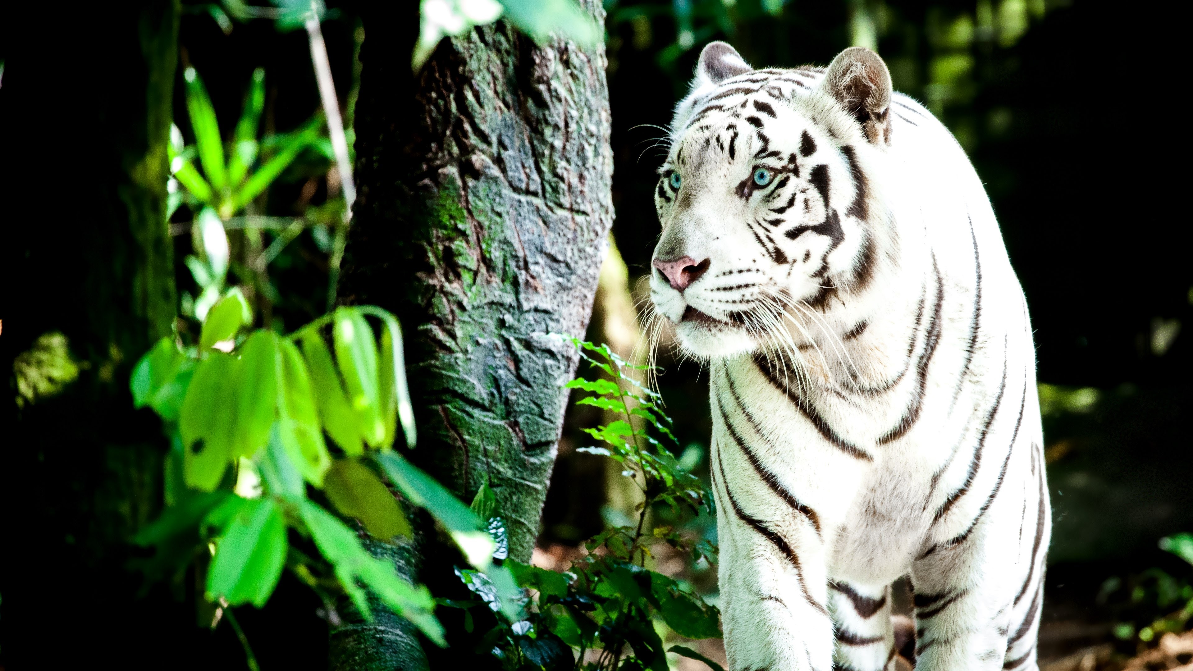 ultra high definition wallpapers tigers - photo #21