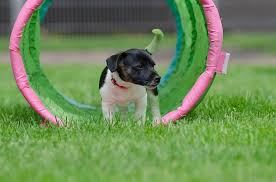 Comment former de petits chiens