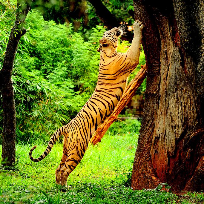 tiger at periyar tiger reserve thekkady