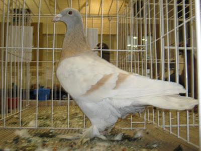 hungarian homer pigeons