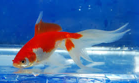 Jenis Ikan Koki Watoni