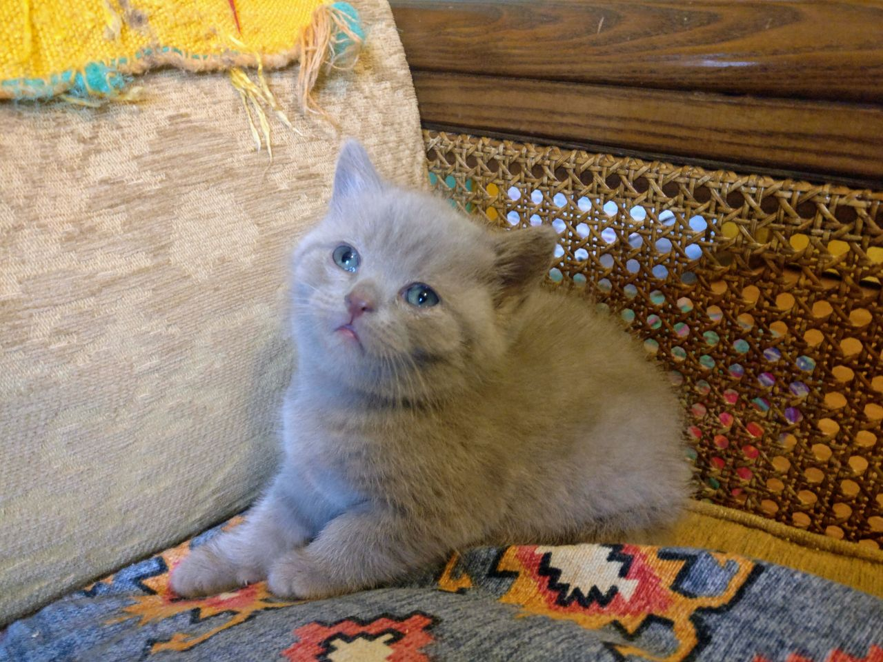 Kuwait Cats And Kittens For Sale