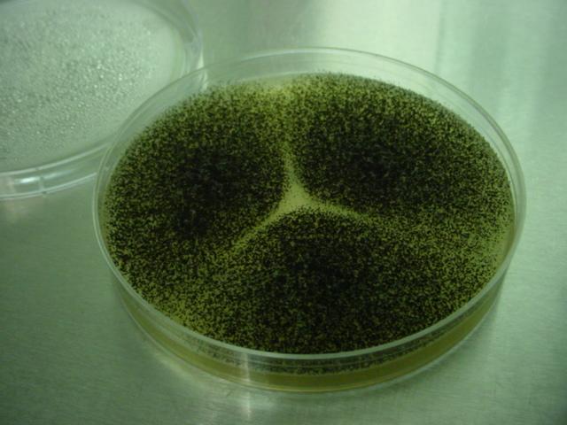 Sustainable Mycology: Aspergillus niger