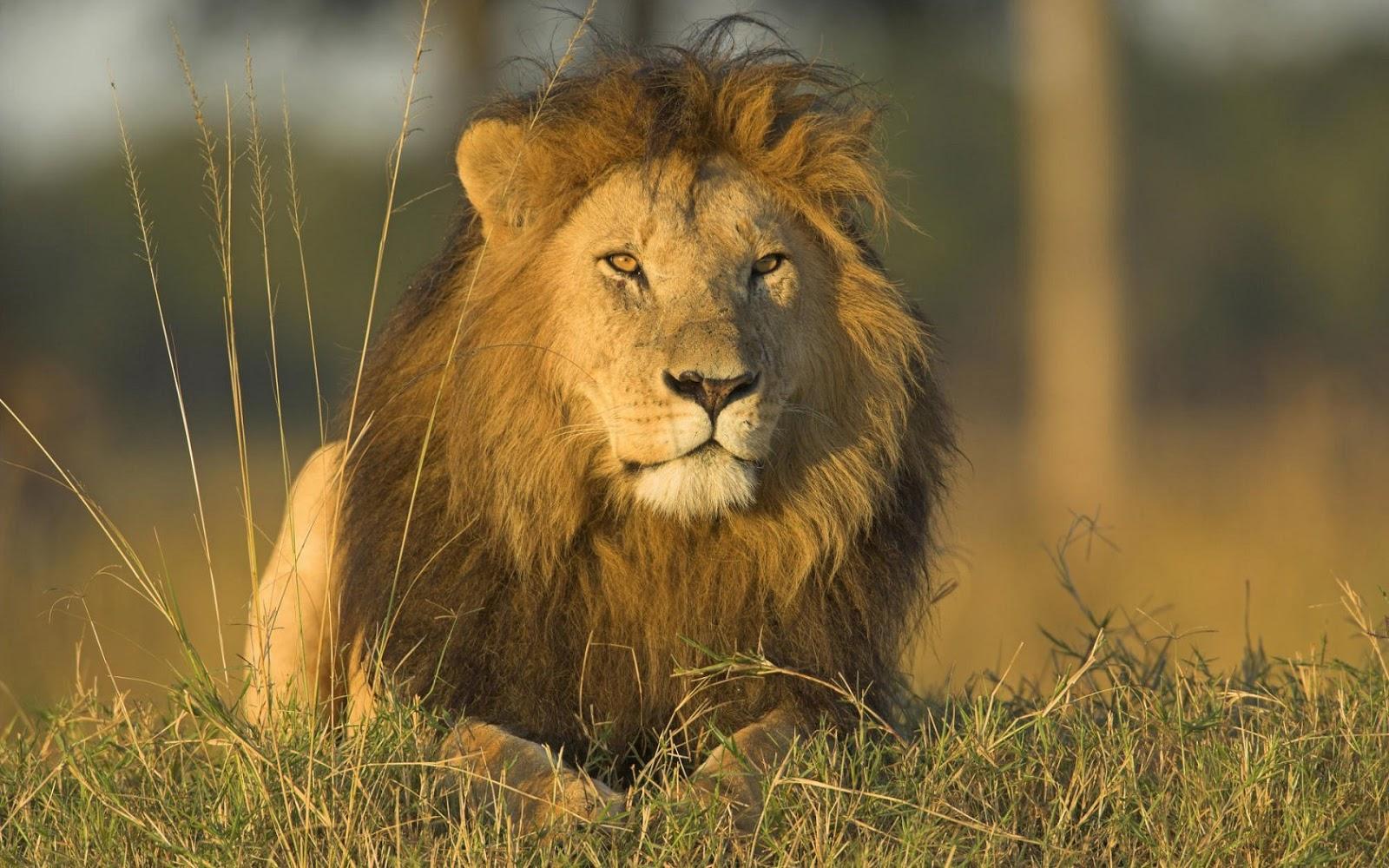 Lion pictures wallpaper - photo#50