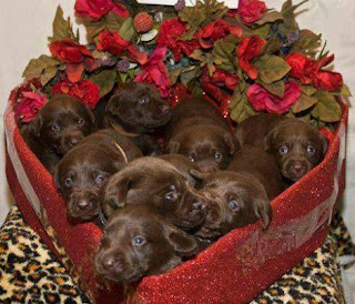 A foto retrata oito filhotinhos da raça Labrador cor de chocolate dentro de uma caixa em forma de coração. A caixa é forrada com papel vermelho brilhante e está sobre uma almofada com estampa animal print. Na parte curva, há um arranjo de flores vermelhas e no resto do espaço, os cãezinhos estão apertadinhos, a maioria, observa a câmera, no fundo, um deles olha à direita.