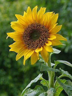 Manfaat dan Khasiat Bunga Matahari untuk Kesehatan