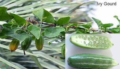 ivy gourd; ivy gourd vegetable