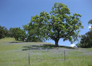 Oak tree in a field of blooming purple lupines along Santa Rosa Creek Road, San Luis Obispo County, California