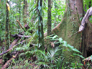 Rain_Forest_Daintree_Australia.jpg