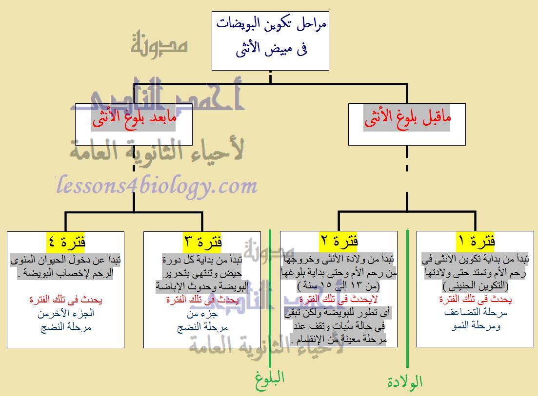 مراحل تكوين البويضات فى أنثى الإنسان