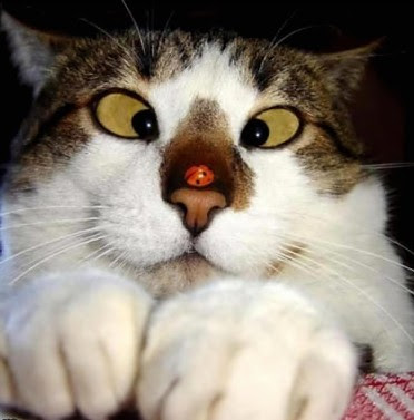 chat cocinelle