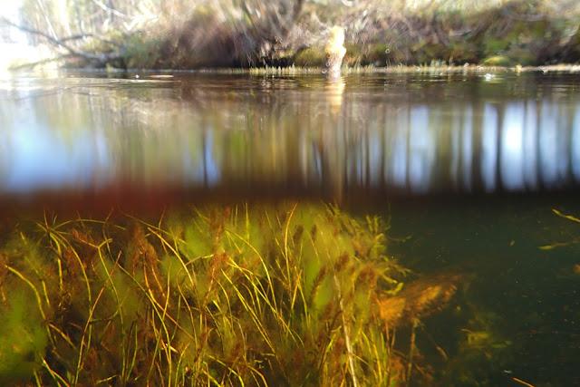 Kuva puoliksi veden alta (vesikasveja) ja päältä (metsämaisemaa)
