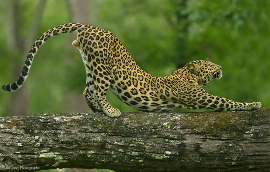 8. Yoga Leopards of India by Shaaz Jung