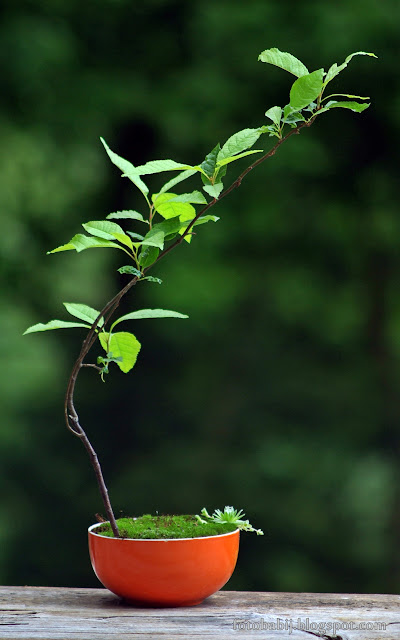http://fotobabij.blogspot.com/2015/08/bonsai-w-kolorowe-misce-2xq.html